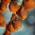 Photos: 吊るし柿