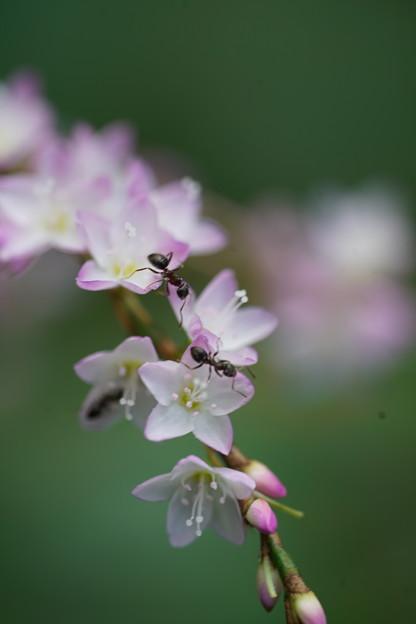写真: 蟻とサクラタデ