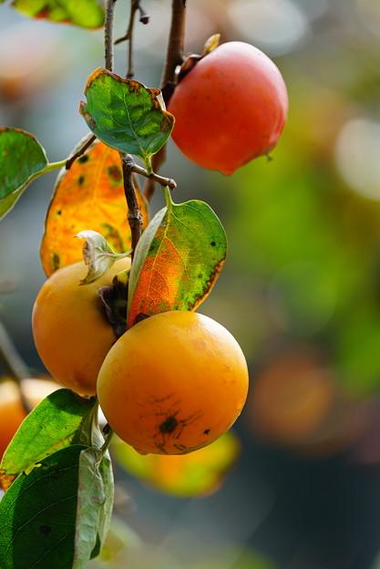 Photos: 熟柿