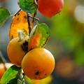 写真: 熟柿