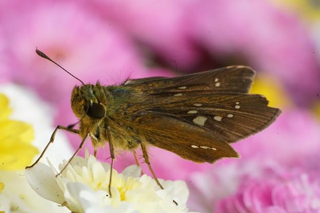 Photos: 菊とセセリチョウ