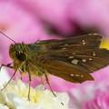 写真: 菊とセセリチョウ
