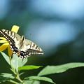 花とアゲハチョウ