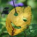 写真: ハロウィーン葉っぱ
