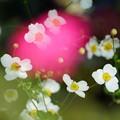 写真: 白い秋明菊
