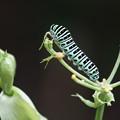 写真: 蝶の幼虫