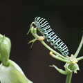 Photos: 蝶の幼虫
