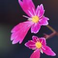 写真: ピンクのダイモンジソウ
