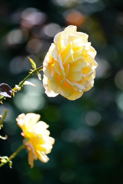 黄色い薔薇