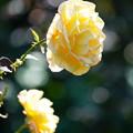 写真: 黄色い薔薇