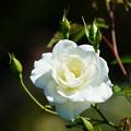 写真: 白薔薇