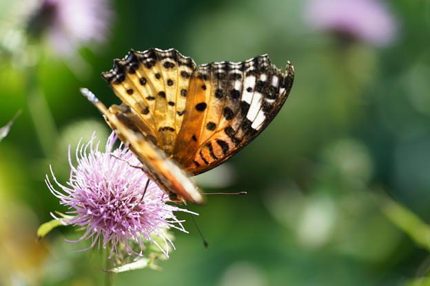 アザミと蝶