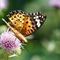 写真: アザミと蝶