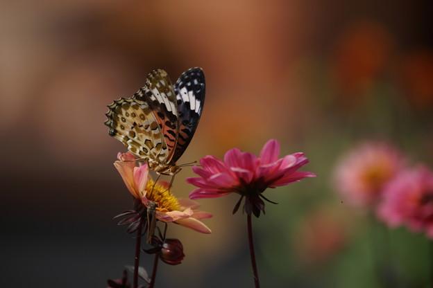雌のツマグロヒョウモン