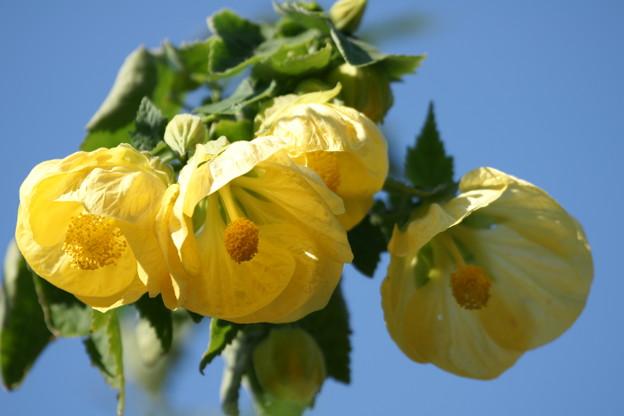 黄色いアブチロン