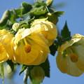 Photos: 黄色いアブチロン