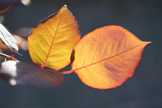 写真: 薔薇の葉っぱ