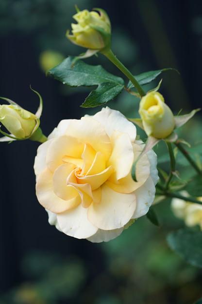 クリーム色の薔薇