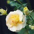 写真: クリーム色の薔薇