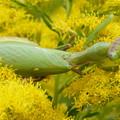 花の上のカマキリ