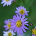 Photos: 紫の菊