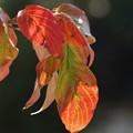 Photos: 花水木の葉っぱ