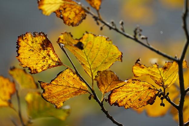 マンサクの葉っぱ