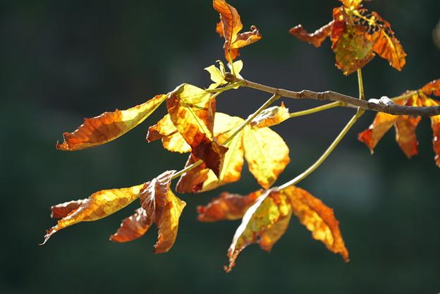 トチノキの紅葉