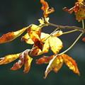 Photos: トチノキの紅葉