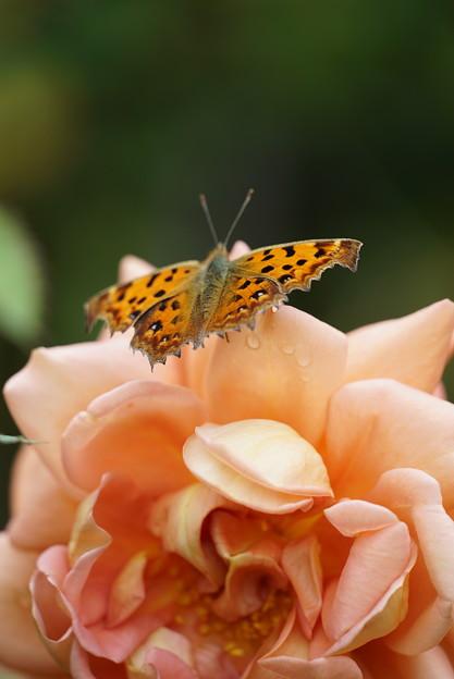 写真: バラと蝶