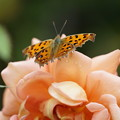 Photos: バラと蝶