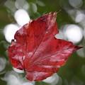 写真: 蜘蛛の巣の紅葉
