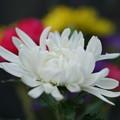 Photos: 白い菊