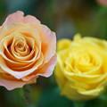 写真: 二輪の薔薇