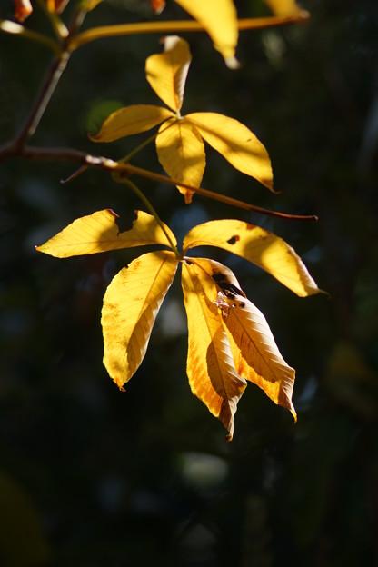 栃ノ木の葉