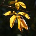 写真: 栃ノ木の葉