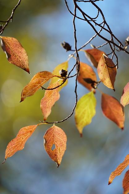 ヒメシャラの葉