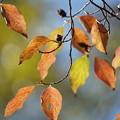 写真: ヒメシャラの葉