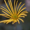 写真: 肥後菊