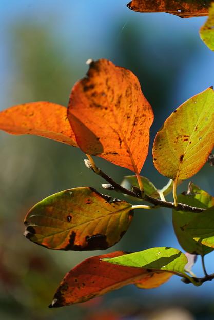 ニツサボクの葉
