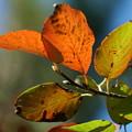 写真: ニツサボクの葉