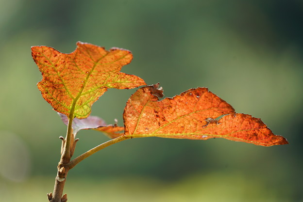 カシワバアジサイの葉