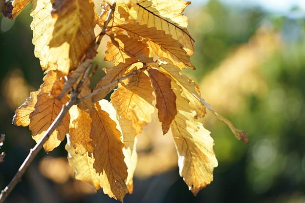 アイリシュオークの葉