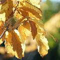 写真: アイリシュオークの葉