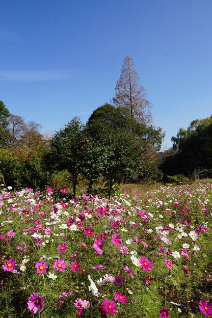 秋桜咲く公園