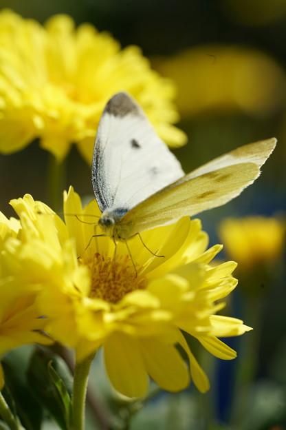 花とモンシロチョウ