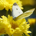 Photos: 花とモンシロチョウ