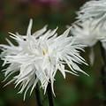 写真: 白い江戸菊
