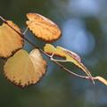 写真: 桂の葉
