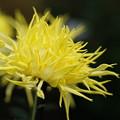 写真: 黄色い江戸菊